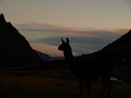 A llama watches the sunet on day one of the Lares Trek, Peru, Peru For Less